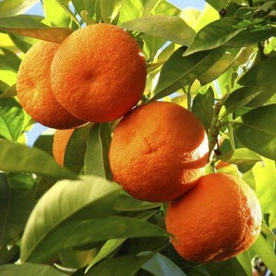 Citrus Orange Tree 6.5L Planter & Citrus feed - Single Tree