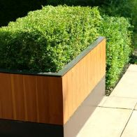 See more information about the Box Hedging Plant - Buxus Sempervirens - 10x Plants