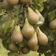 See more information about the Conference' Pear Tree - Single Multi-Branched Bare Root Tree