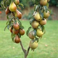 See more information about the Duo Fruit Tree - Pear Conference & Concorde - Single Bare-Root Duo Fruit Tree