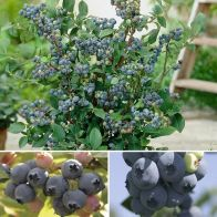 See more information about the Complete Blueberry Vaccinium Kit