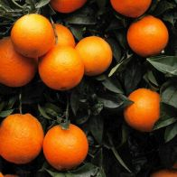 See more information about the Orange Blood Citrus 6L - Single Fully Mature Tree