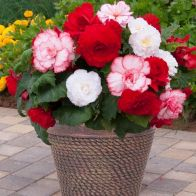 See more information about the Begonia 'Majestic Romance' Mix - 12x Plug Plants