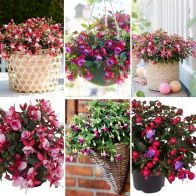 See more information about the Fuchsia Fuchsita Collection - 12x Plug Plants