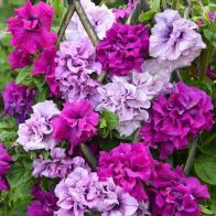 See more information about the Petunia 'Dizzy Heights Double Mix' - 12x Plug Plants