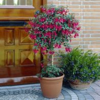 See more information about the Flowering Standard Fuchsia Tree