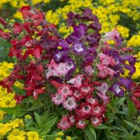 See more information about the Hardy Penstemon Collection - 12x Jumbo Plugs