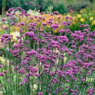 See more information about the Verbena Boanriensis - 12x Plug Plants