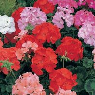 See more information about the Geranium Blooming Mix