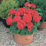 See more information about the Geranium Cabaret Red