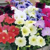 See more information about the Petunia 'Frenzy' Mix