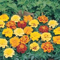 See more information about the Marigold
