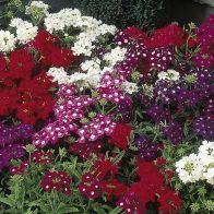 See more information about the Verbena Quartz F1 Mix