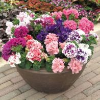 See more information about the Petunia 'Duo-Double' Mix