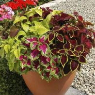 See more information about the Coleus Wizard Mix