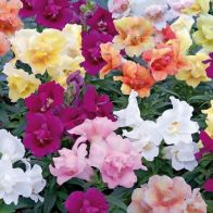 See more information about the Antirrhinum 'Twinny' Mix - 40x Jumbo Plug Plants