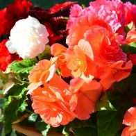 See more information about the Begonia 'Non Stop' Mix - 40x Plug Plants