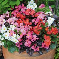 See more information about the Begonia 'Organdy' Mix - 40x Plug Plants