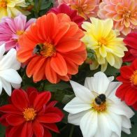 See more information about the Dahlia 'Figaro' Mix - 40x Plug Plants