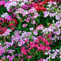 See more information about the Dianthus 'Corona' Mix - 40x Plug Plants