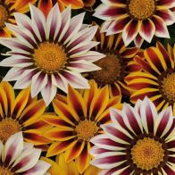 See more information about the Gazania 'Tiger Stripes' Mix - 40x Plug Plants