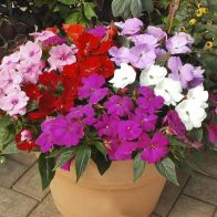 See more information about the Impatiens 'New Guinea Divine' - 40x Plug Plants