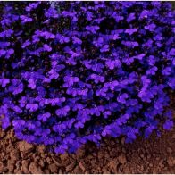 See more information about the Lobelia Crystal Palace Blue - 40x Plug Plants
