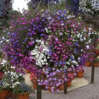 See more information about the Lobelia 'Fountain' Mix - 40x Plug Plants