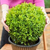 See more information about the Pair of Buxus Box Balls 30cm Diameter