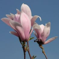 See more information about the Magnolia 'Leonard Messell' Bush