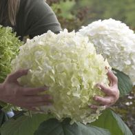 See more information about the Tree Hydrangea 'Incrediball' - Single Established Plant