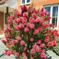 See more information about the Bottlebrush Plant Callistemon Citrinus