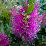 See more information about the Callistemon Viminalis 'Hot Pink'