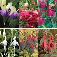 See more information about the Complete Hardy Fuchsia Collection