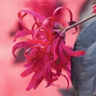 See more information about the Loropetalum 'EverRed' Chinese Witch Hazel