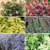 See more information about the Evergreen Shrub Collection - 6x Named Varieties