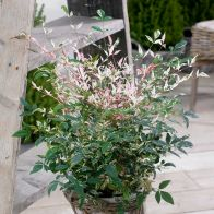 See more information about the Nandina Domestica 'Twilight' - Single Established Plant