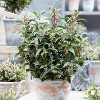 See more information about the Sarcococca Hookeriana 'Winter Gem' - Single Established Plant