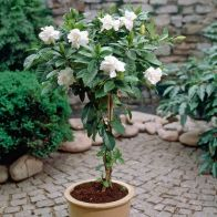 See more information about the Gardenia Jasminoides Cape Jasmine 70cm Standard