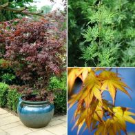 See more information about the Acer palmatum Japanese Maples - 3x Established Plants