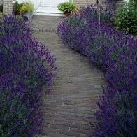 See more information about the Lavender Hidcote - 10x Hedging Plants
