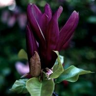 See more information about the Magnolia 'Genie'