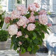 See more information about the Sevenbark Hydrangea Arborescens Candybelle Bubblegum - Single Established Plant