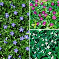 See more information about the Vinca Collection 9cm - 3x Established Plants