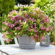 See more information about the Weigela Picobella Rosa 9cm - 3x Established Plants