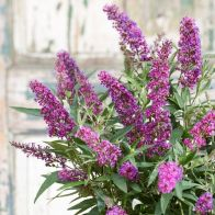 See more information about the Buddleja Dav. 'Butterfly Tower' 9cm - 2x Established Plants