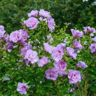 See more information about the Hibiscus Lavender Chiffon - Single Standard Plant