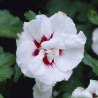 See more information about the Hibiscus 'Lady Stanley' 13cm - Single Established Plant