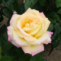 See more information about the The 'Peace' Rose