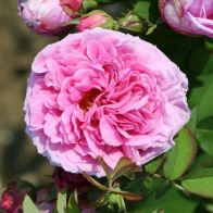 See more information about the Rose 'Comte de Chambord' - Single Freshly Potted Plant